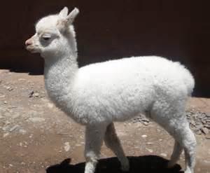 Baby Llama