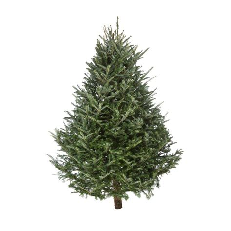 fresh cut christmas trees www easyfillhangingbaskets co uk