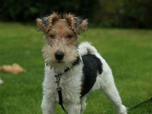 WIRE-HAIRED FOX TERRIER   Dogs Mostly 4u   Pinterest