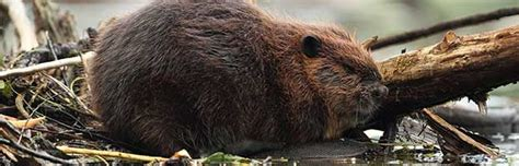 north american beaver animal facts  information
