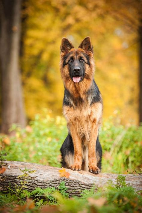 german shepherd names male female gsd names
