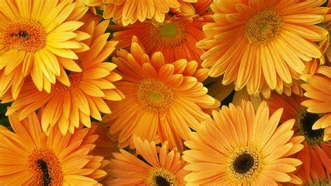 Orange Wallpaper Flower orange flower hd wallpapers