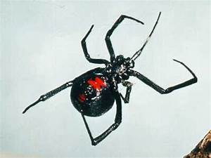 10 Interesting Black Widows Facts | My Interesting Facts