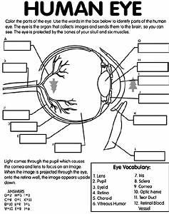 Printable Diagrams Of The Human Eye