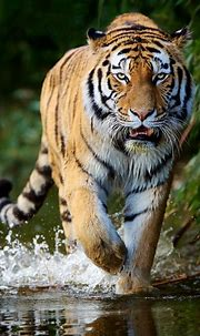 Siberian Tiger   Tigers seem to love water and aren't ...
