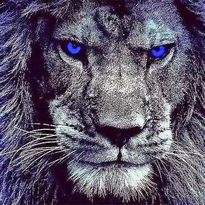 22 Meme Internet: lions. blue eyes. #lions #blueeyes