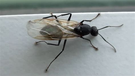 carpenter ants with wings black carpenter ant formicidae conotus winged male youtube