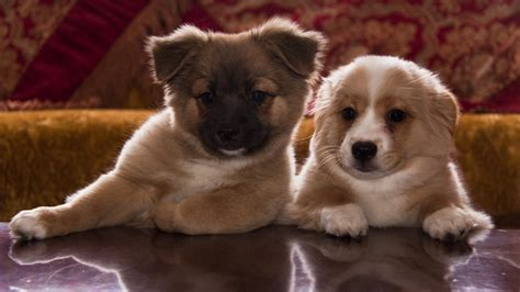 cute brown  white puppies