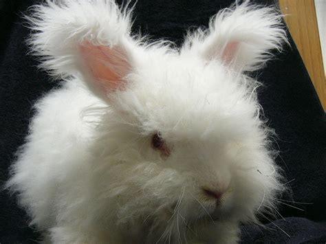 angora rabbit 8 english angora rabbits for sale in rogers arkansas rabbits for sale in arkansas