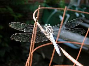 Free Blue Dragonfly On Tomato Cage Wire Frame Stock Photo