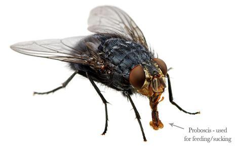 Pestaway Australia  How To Get Rid Of Flies  Pest Control