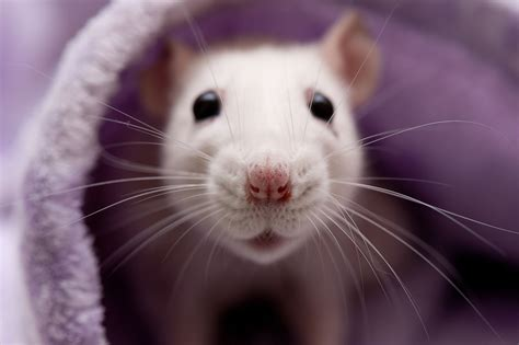 Pet Rat Breathing Problems - Diagnosis and Treatment
