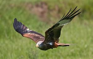 File:Flying Falcon.jpg - Wikipedia