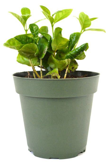 """The coffee plant coffea arabica is a rather rare sight inside your own place. 9GreenBox - Arabica Coffee Plant - 4"""" Pot - Walmart.com ..."""