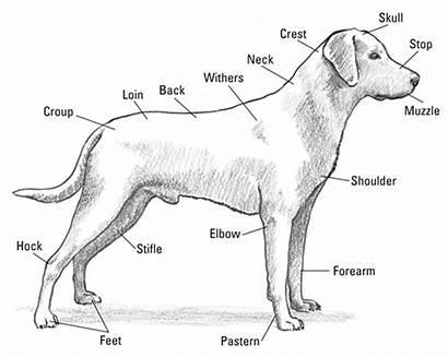 Labrador Anatomy Dog Retriever Dummies Parts Dogs