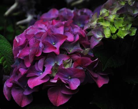 purple hydrangea hydrangea hydrangeas pinterest
