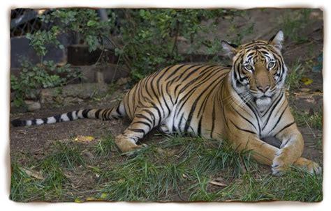 Rainforest Tiger Facts for Kids