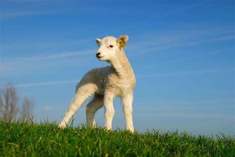 lamb lam leuk lente agnello nz sveglia sorgente dell spring sciencelearn biotechnology farming ruminant sheep animals mammals livestock peep bo