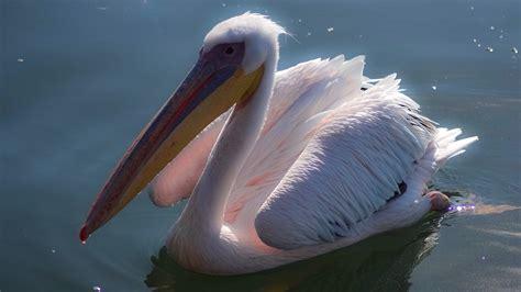 pelicans bl-5 - Jacek Proniewicz travel blog