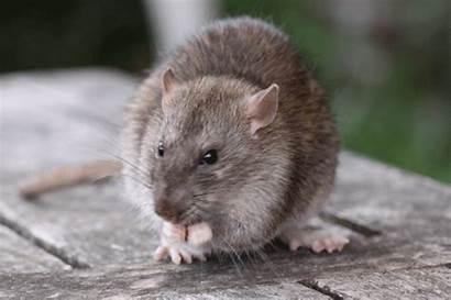 Rat Poten Animatie Knippen Tamme Een Uiterlijk