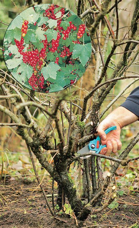 Pflaumenbaum Richtig Pflanzen Und Pflegen by Johannisbeeren Schneiden Garten Johannisbeere