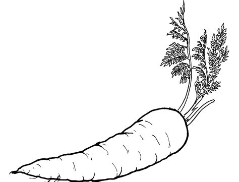 carrot clipart coloring page pencil   color carrot