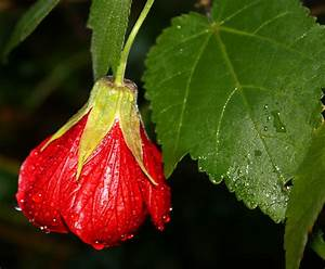 Chinese Lantern Flowers - Pictures & Meanings