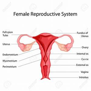 Female Reproductive System Images Diagram   Female