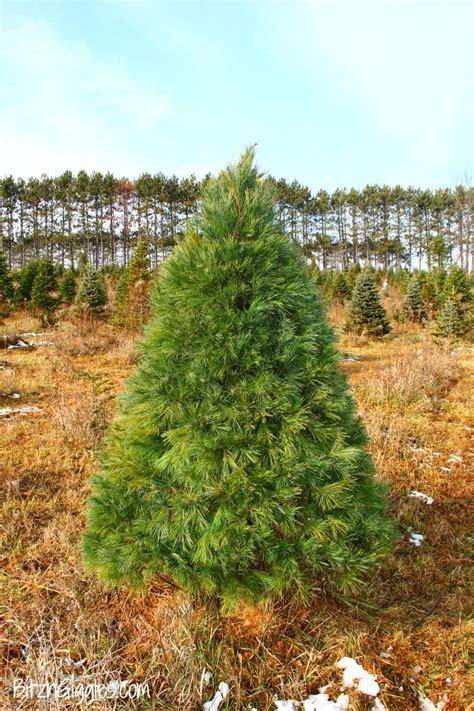 gallery of real christmas tree care tips fir christmas