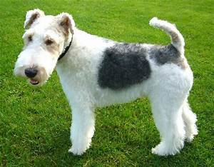 Wire-haired Fox Terrier   Canines - F   Pinterest