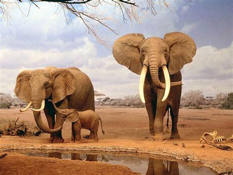 Elefante Africano, Il Più