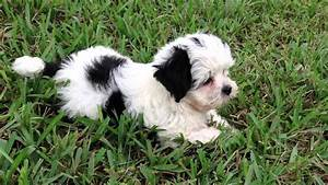 Beautiful Black and White Maltese Shih Tzu Pups for sale ...