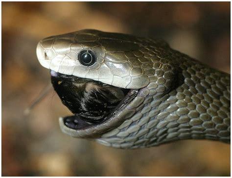 black mamba snake moolf
