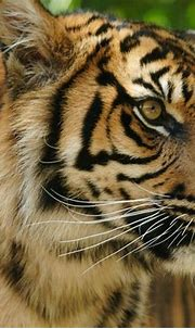 5.5 Tigers- Naked and Alone in the Disappearing Sumatran ...