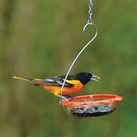 droll yankees sweetens oriole feeding  bos marmalade