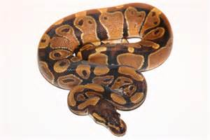 reptilian pets the snake every boys dream pet go lizards