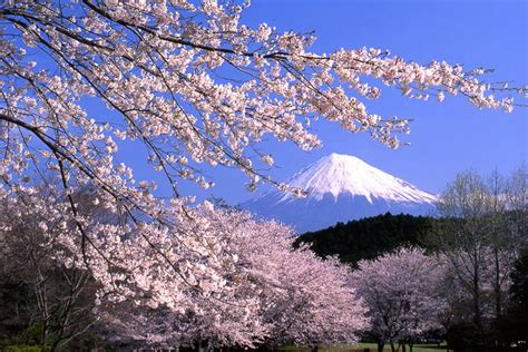 ultimate  cherry blossom japan guide