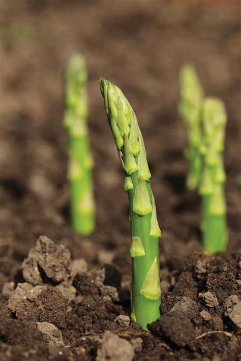 growing asparagus planting asparagus and heirloom varieties farm and garden grit magazine