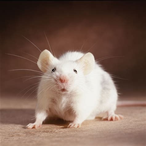 Names for Your Pet Rat
