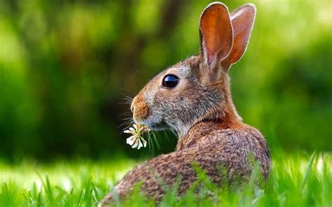 comment cuisiner un lapin comment reconna 238 tre un li 232 vre d un lapin