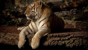 Tiger Wallpapers | HD Wallpapers | Desktop Wallapers ...