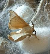 Silk worm moth and cocoons     white silk cocoons made by worms that      White Silk Moth
