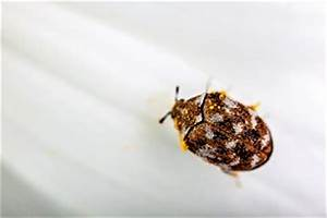 Teppichkäfer Larven Bekämpfen : den messingk fer bek mpfen alle m glichkeiten und tipps ~ Eleganceandgraceweddings.com Haus und Dekorationen