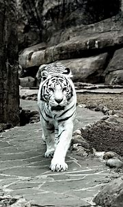♂ Wild life photography, animal white tiger   White tiger ...