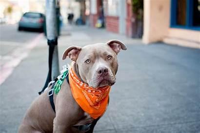 Pitbull Wallpapers Pit Bull Bulls Dog