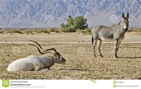Animals In Hai Bar Nature Reserve, Israel Stock Image