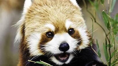 Pandas Standing Facts Playing Eating Fun Wallpapers