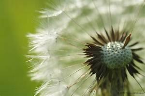 Pusteblume Schwarz Weiß Vögel : pusteblume l wenzahn forum f r naturfotografen ~ Orissabook.com Haus und Dekorationen