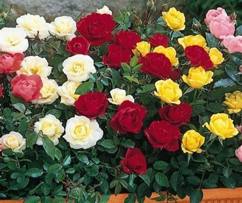 merawat mawar cepat berbunga bibitbungacom