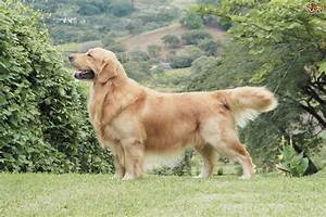 Golden Red River : how to find choose the best stud dog pets4homes ~ Orissabook.com Haus und Dekorationen